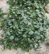 Water Cress  -  Nasturtium officinale  -  Appx 2000 seeds